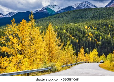 Yellowed slender aspens near the road adjacent to the green spruce. The magnificent Rocky Mountains in Canada. The warm Indian summer in October