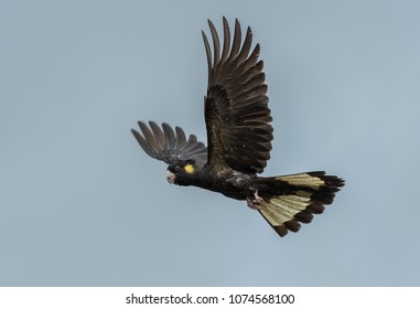 Yellowed tailed black cockatoo very noisy bird in flight with a isolated back ground