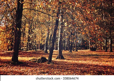 Yellowed trees in the forest in sunny weather - autumn landscape in vintage tones