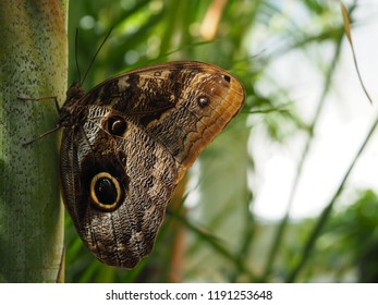 The yellow-edged giant owl butterfly with wings closed, Caligo atreus known for their huge eyespots, which resemble owls' eyes