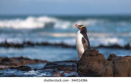 Yellow-eyed penguin (Megadyptes antipodes), Curio Bay, New Zealand.