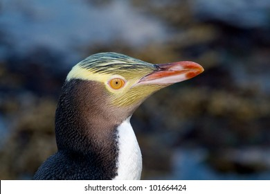 The Yellow-eyed Penguin Megadyptes antipodes or Hoiho is a rare penguin native to New Zealand