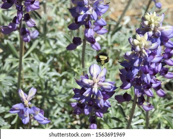 Yellow-faced bumble bee, collecting pollen from a field of purple lupines, Mount Pinos, Ventura County, California.