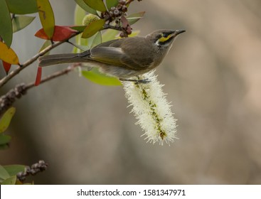 The yellow-faced honeyeater (Caligavis chrysops) is a small to medium-sized bird in the honeyeater family, Meliphagidae. It takes its  name from the distinctive yellow stripes on the sides of its head