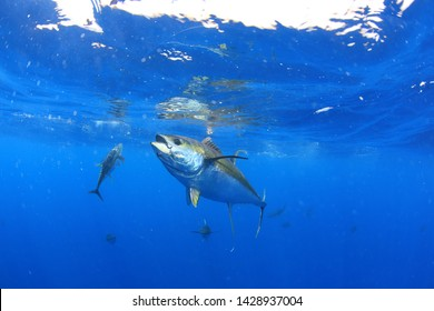 Yellowfin tuna out in the open ocean in crystal clear blue water