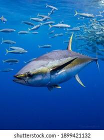 Yellowfin Tuna swimming in the blue