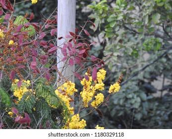yellow-flame Ornamental Copperpod Flowers, Beautiful  yellow-flamboyant. It also known as many names yellow flametree, yellow poinciana, Peltophorum pterocarpum
