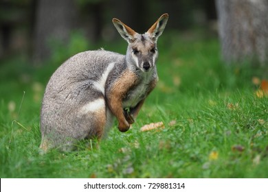 Yellow-footed Rock Wallaby - Petrogale xanthopus - Australian kangaroo sitting on the grass