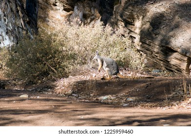 Yellow-footed rock wallaby seen in Brachina Gorge, Ikara-Flinders Ranges National Park, SA, Australia