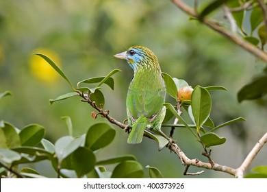 Yellow-fronted Barbet (Megalaima flavifrons) Sinharaja Rainforest Reserve, Sri Lanka