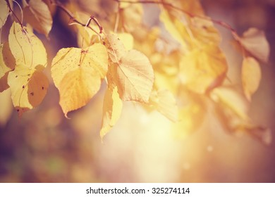 Yellow-gold autumn leaves of a linden on branches.