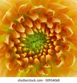 Yellow/Gold Dahlia Centre (Asteraceae) - Macro