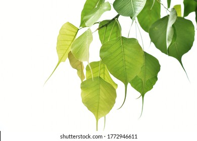 Yellow-green Bodhi leaves In white background