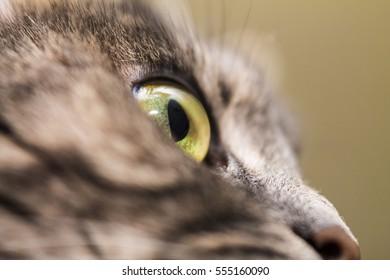 yellow-green cat eyes close up