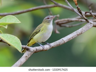 Yellow-green Vireo (Vireo flavoviridis) perched on a tree branch