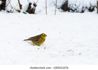 Yellowhammer, Emberiza Citrinella, eating food on a snowy ground