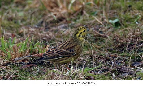 Yellowhammer (Emberiza citrinella) female in spring close-up, Podlasie region, Poland, Europe