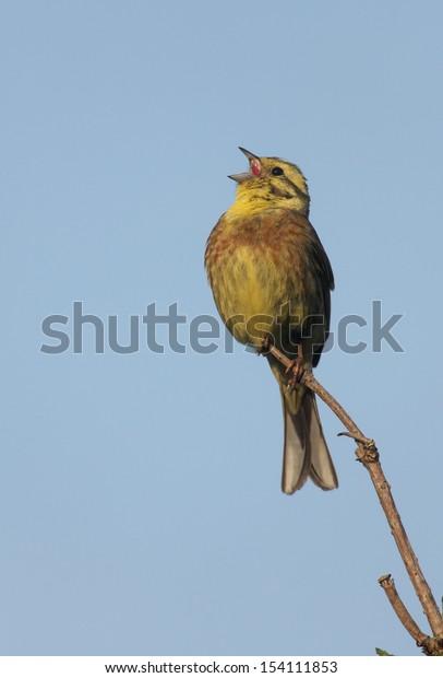 Yellowhammer, Emberiza citrinella, male singing, Scotland, summer