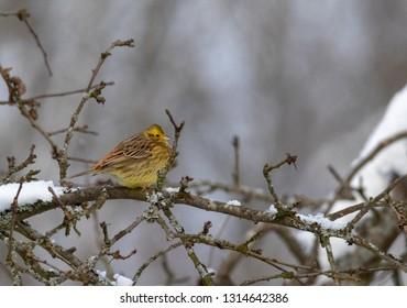 Yellowhammer (Emberiza citrinella) passerine bird in winter on branch,Podlasie Region, Poland, Europe