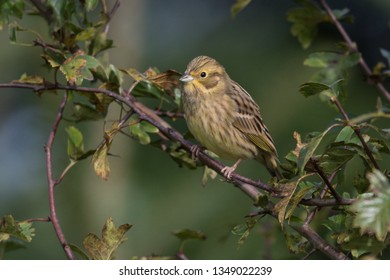 Yellowhammer from Germany