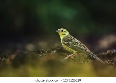 Yellowhammer on the field