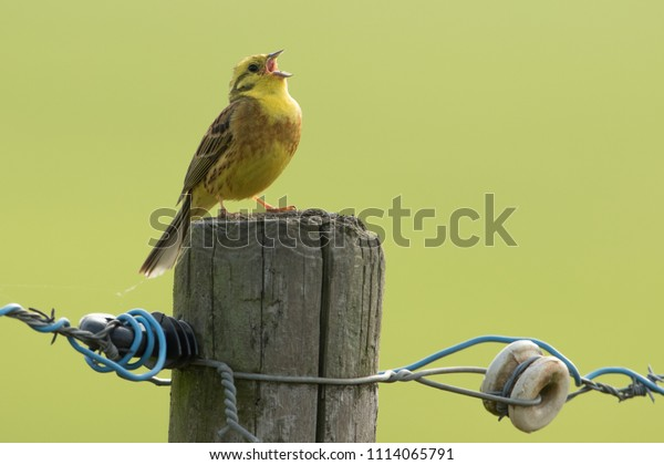 Yellowhammer sings loud