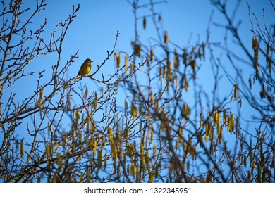 Yellowhammer sitting on the tree