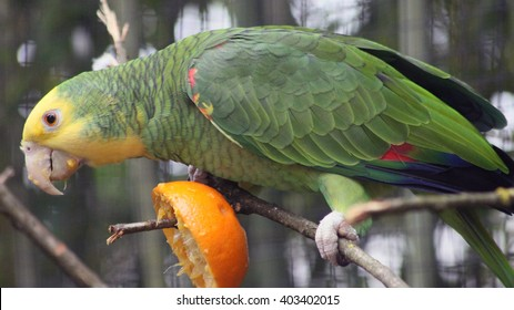 Yellow-Headed Amazon Parrot Perched on a Branch and Eating an Orange