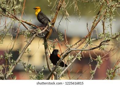 a Yellow-headed Blackbird