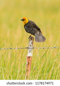 The yellow-headed blackbird is a medium-sized blackbird, and the only member of the genus Xanthocephalus. Adults have a pointed bill.