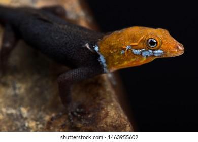 Yellow-headed Gecko (Gonatodes albogularis fuscus)