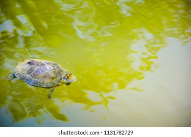 Yellow-headed Temple Terrapin (Scientific name is Hieremys annandalei) swimming in the pond , it has Pond snail on turtle shell.