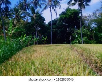 Yellowing Stretch Of Rice Fields At Ringdikit Village, Buleleng, North Bali, Indonesia