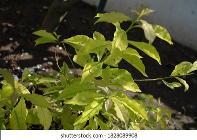 Yellowish green coloured leaves plant of Brunfelsia latifolia, commonly known as yesterday-today- tomorrow and kiss me quick,is a species of flowering plant in the nightshade family. Shrub,pale purple