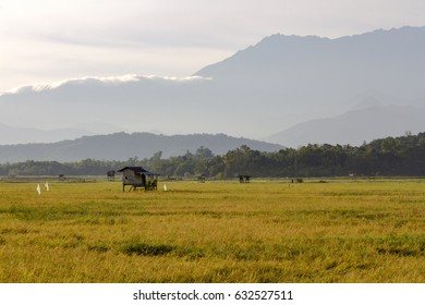 The yellowish paddy fields of Kampung Sangkir, Kota Belud, Sabah, Malaysian Borneo with the Crocker Range as background.