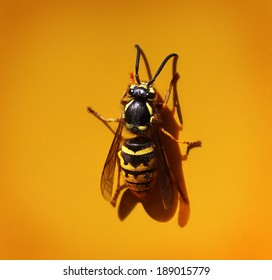 Yellowjacket, Wasp