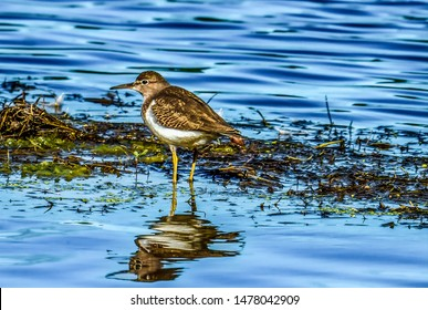 Yellowlegs sandpipers on a northern river