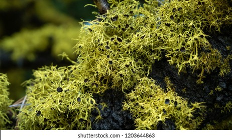 Yellow-light green wolf lichen found in pines close to the alpine zone (BC, Canada)