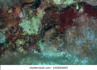 Yellowline Arrow Crab (Stenorhyncus seticornis) sitting in a cave on the reef of tropical Bonaire island
