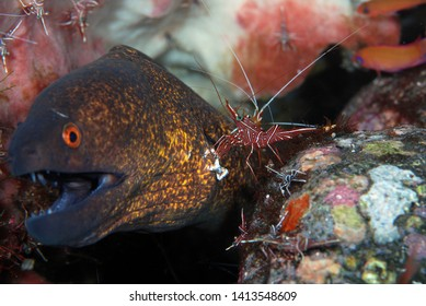 Yellowmargin Moray Eel with Durban dancing shrimp. The shrimp helps Moray, treats her wound. Underwater symbiosis. Diving, macro photography. Coral garden, Tulamben, Bali, Indonesia.