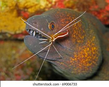 Yellowmargin Moray Eel (Gymnothorax flavimarginatus) with a White Banded Cleaner Shrimp (Lysmata amboinensis)