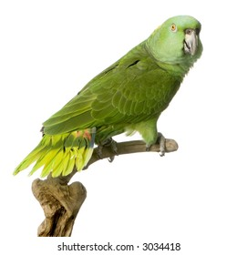 Yellow-naped Parrot in front of a white background
