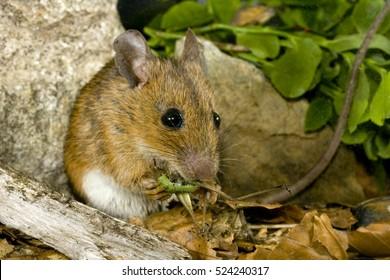 Yellow-necked mouse (Apodemus flavicollis) eating a grasshopper. Piedmont. Italy.