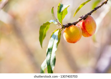Yellow-orange peaches on the branches. Peaches with yellow-fleshed peaches typically have an acidic tang coupled with sweetness.