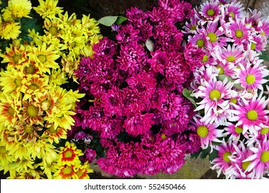 Yellow,pink, purple chrysanthemum in garden