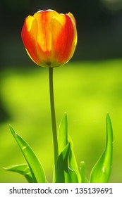 Yellow/Red Tulip