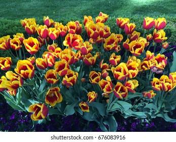 Yellow-Red Tulips Flower in Garden