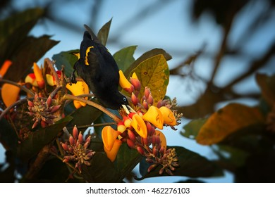 Yellow-rumped Cacique,Cacicus cela, black and yellow colored bird, feeding on orange fruits.Trinidad island, Trinidad and Tobago.
