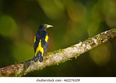 Yellow-rumped Cacique,Cacicus cela, black and yellow colored forest bird perched on branch against green background with nice bokeh. Trinidad island, Trinidad and Tobago.