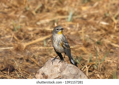 Yellow-rumped Warbler (Audubon) (setophaga coronata)